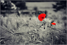 Red poppies in a cornfield