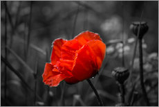 Red poppy on black and white background
