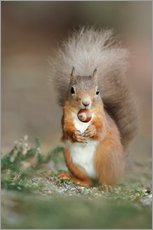 Red squirrel eating a hazel nut