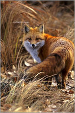 Red Fox looks back