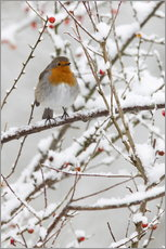 Robin, with berries in snow