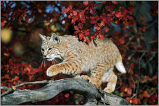 Bobcat (Felis rufus) on a branch