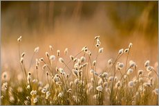 Common Cotton-grass backlit at dawn