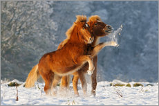 Icelandic horses foal playing in snow