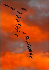 Snow geese flying into the sunset