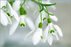 Snowdrop Flowers in Spring