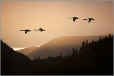 Swans in flight at sunset
