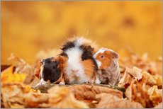 Swiss Teddy Guinea Pigs