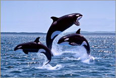 Killer Whales, adults and young leaing, Canada