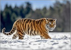 Siberian tiger, juvenile running in snow