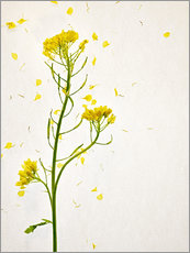 Sinapis alba, flower head, yellow