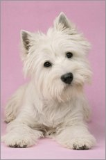 White Terrier on pink background