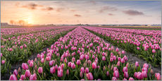 tulips fields holland