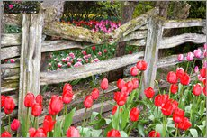 Tulips and wood fence