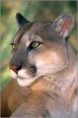 USA, California, Los Angeles County. Portrait of mountain lion or cougar at Wildlife Waystation resc