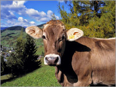 Startled Swiss cow in the Dolomites