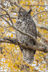 Great Horned Owl roosting in Cottonwood