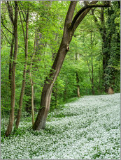 Forest during Spring with everything covered by Wild Garlic