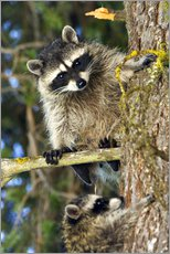 Raccoons climbing on a tree trunk