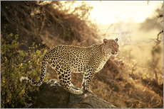 female Leopard at sunset
