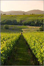 Vineyards in the late afternoon, Pfalz