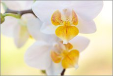 White orchids against soft yellow background