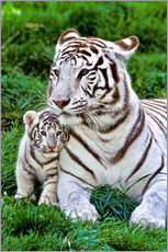 White Tiger, Mother with Cub