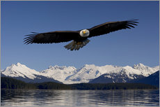Bald Eagle in Tongase National Forest