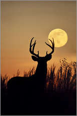 White-tailed Deer, buck with full moon