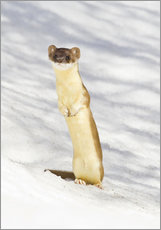 Long tailed Weasel standing on hind legs on snowdrift