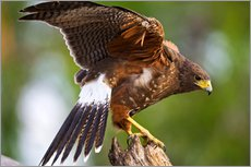 Harris hawk with outstretched wings