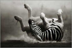 Zebra rolling upside down on dusty desert sand