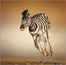 Zebra calf running in dusty Etosha desert