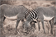 Two Zebras Grazing Together