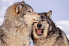 Two Gray Wolves near the forest