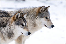 Two Timber Wolves in the snow