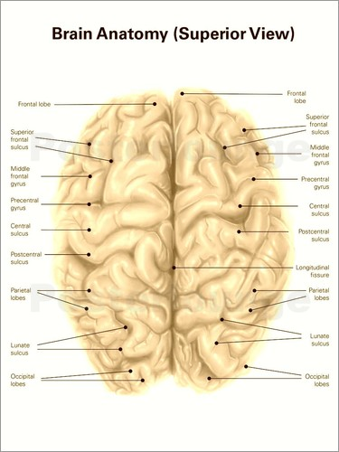 Fantastic superior inferior anatomy collection anatomy and alan gesek human brain anatomy superior view poster posterlounge ccuart Image collections