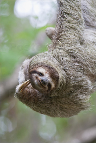 Poster A Brown-Throated Sloth (Bradypus variegatus) scratches its neck with its distinctive claw. Corcovado