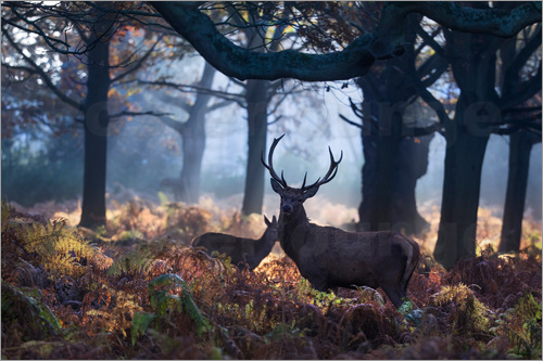 Alex Saberi - A red deer stag in a misty forest in Richmond park, London.