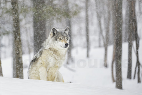 Dominic Marcoux - A wolf sitting in a snowfall in a forest