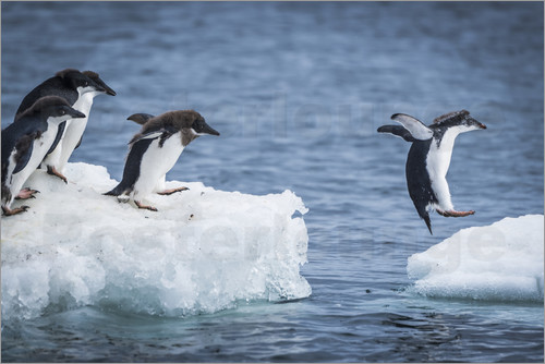 Nick Dale - Adelie penguins (Pygoscelis adeliae) diving between two ice floes, Antarctica