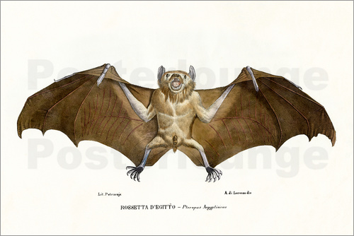 Poster Egyptian Fruit Bat