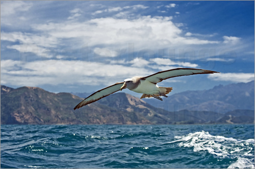 Tony Camacho - Salvin's albatross in flight
