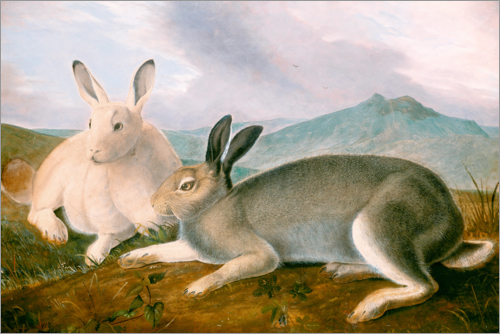 Poster Arctic Hare