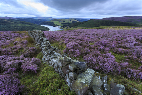 Poster Heather covered Bamford Moor and dry stone wall