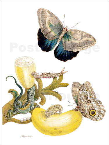 Poster Banana fruit and Caligo