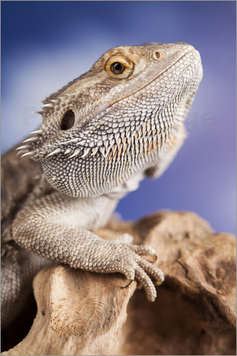 Poster bearded dragon