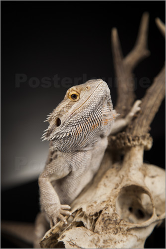 Poster Bearded dragon climbs