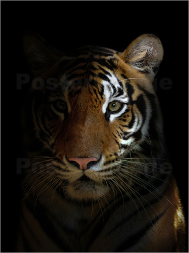 Poster bengal tiger head in the dark night
