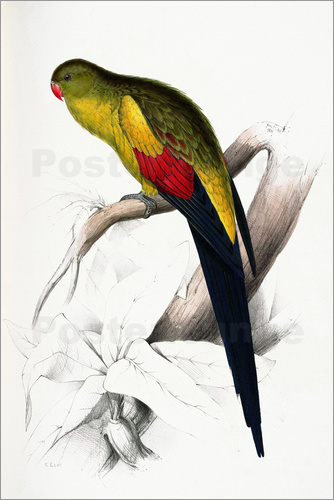 Edward Lear - Black tailed Parakeet